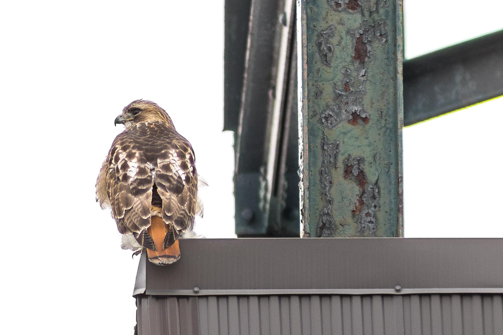Red-tailed Hawk on the Lookout